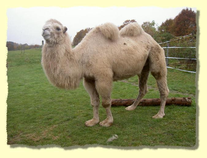 diana das weisse kamel. Black Bedroom Furniture Sets. Home Design Ideas